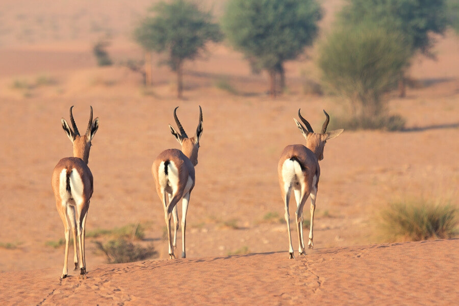 oryx walking in the UAE desert