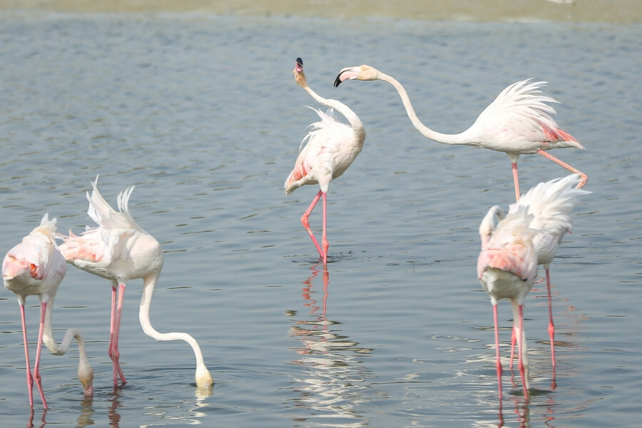 Ras al Khor wildlife sanctuary in Dubai is home to pink flamingos