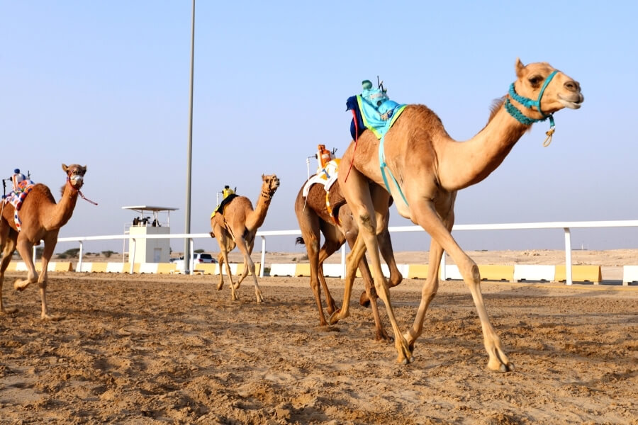 A camel with an electronic jockey