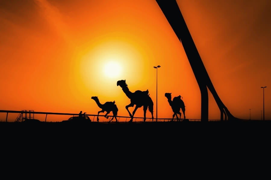 Where to experience the Camel Races in Dubai