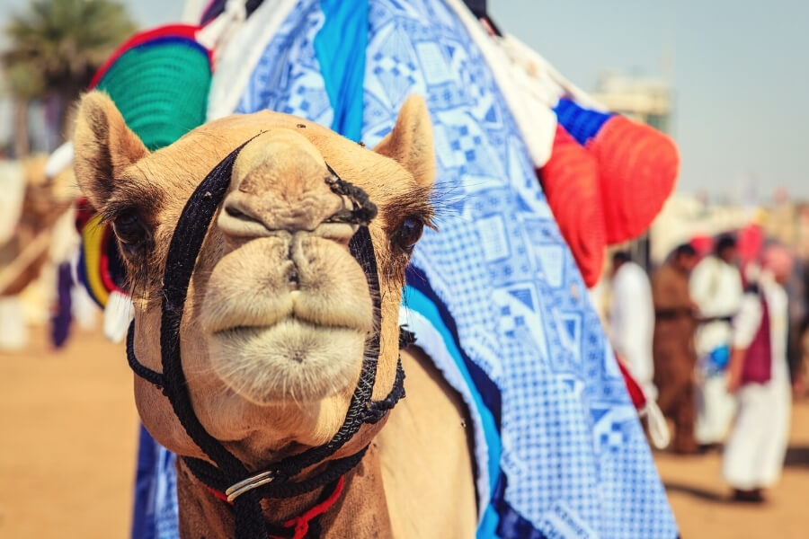 close up of a camels face at Al marmoom camel racing track in Dubai